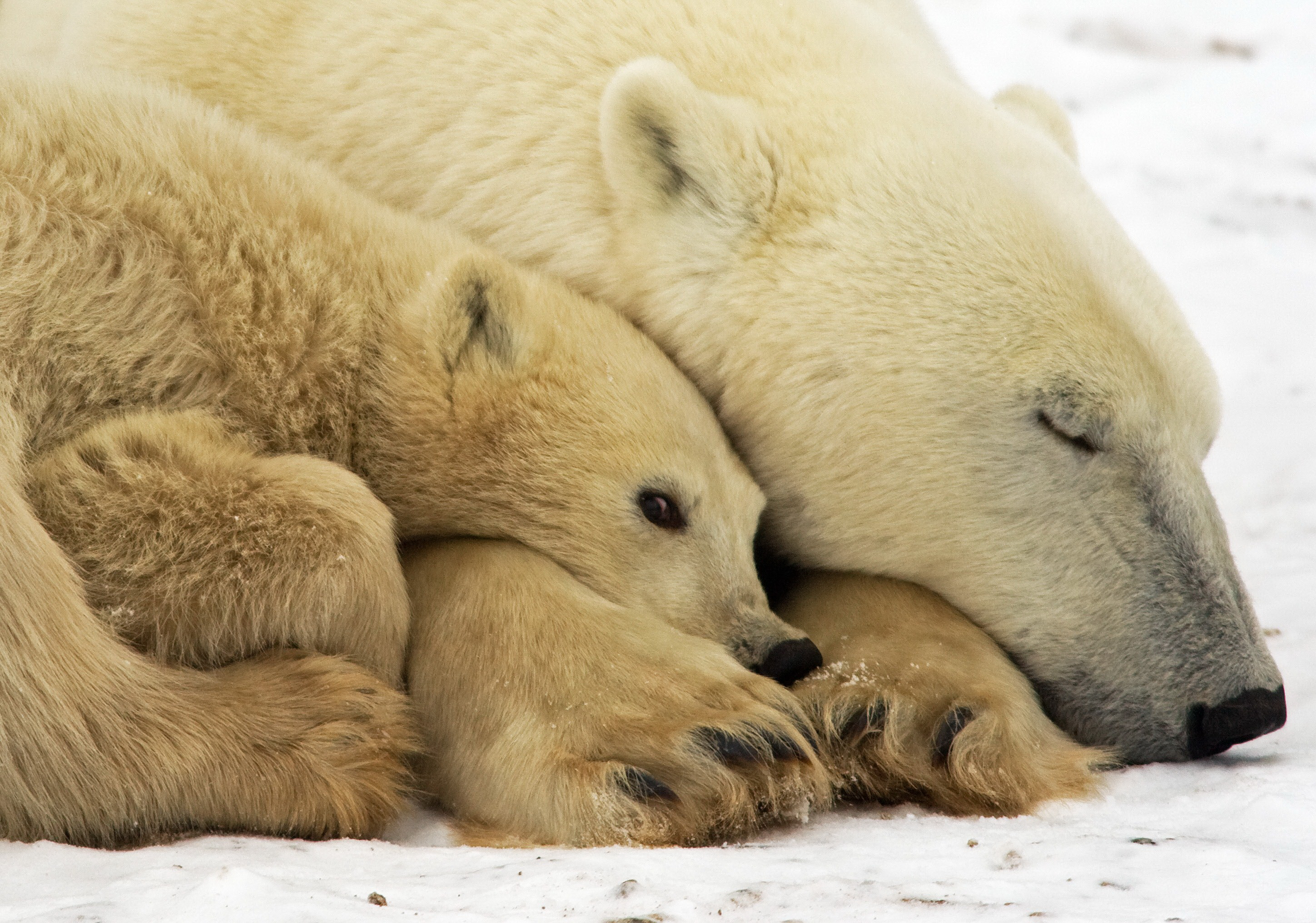 the description of the polar bears and efforts in saving them While this doesn't seem to negatively affect them, it took a long time in history for those consuming polar bear for food to realize the dangers it held for them there are plenty of conservation efforts in place for the polar bear at this time.