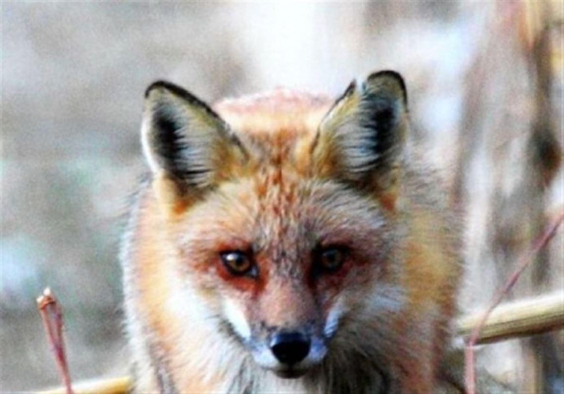 wildlife pelt values determine fox coyote harvest pittsburgh