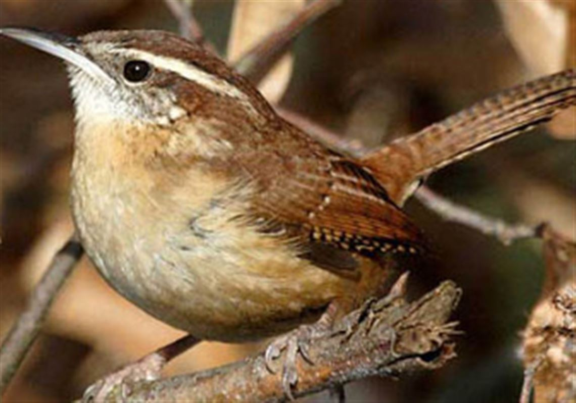 Let's Talk About Birds: Wrens | Pittsburgh Post-Gazette