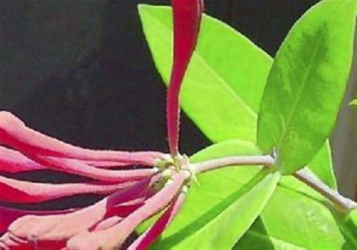 Curly honeysuckle: planting and care, description, photo 31