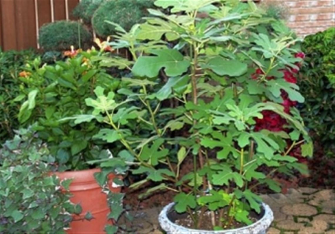 Susan Silverman Of Murrysville Got This Fig Tree As A Small Cutting Three Years Ago