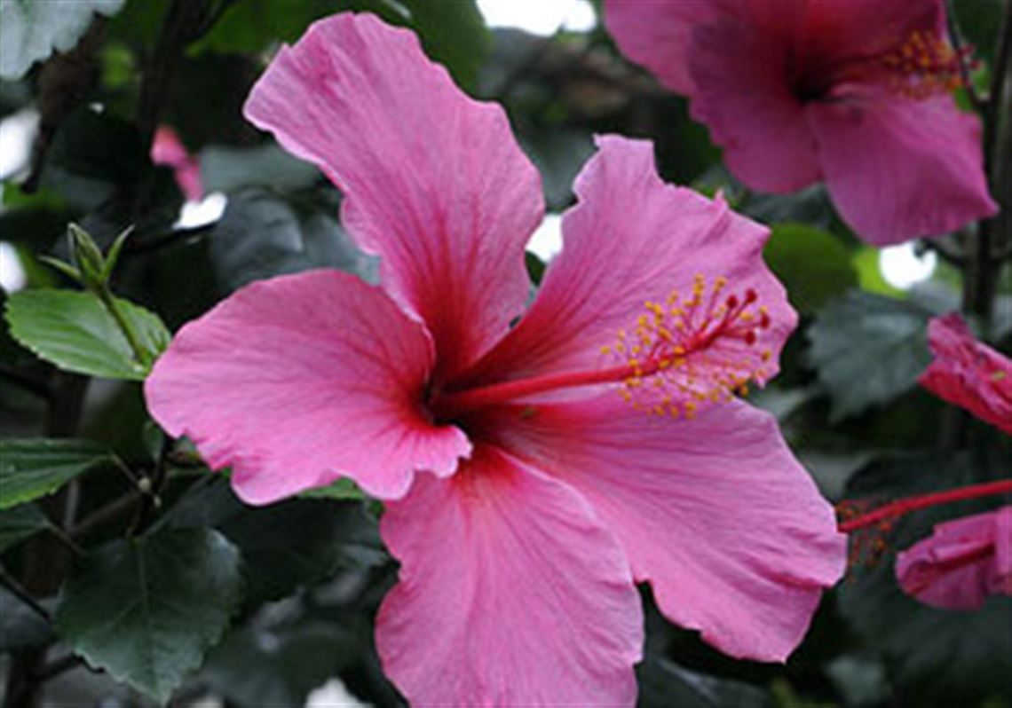 Qa with sandy feather hibiscus can be overwintered but still tropical hibiscus is not hardy enough for western pennsylvanias winter climate and must be brought indoors izmirmasajfo