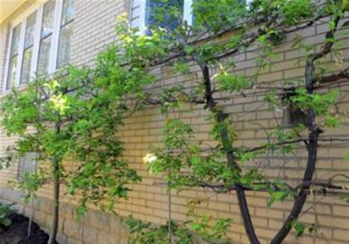 A Gala Apple Tree And A Plum Tree Make Up The Espalier Fruit Tees Along The
