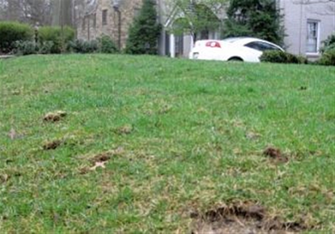 keeping a good lawn is challenging with pets pittsburgh post gazette