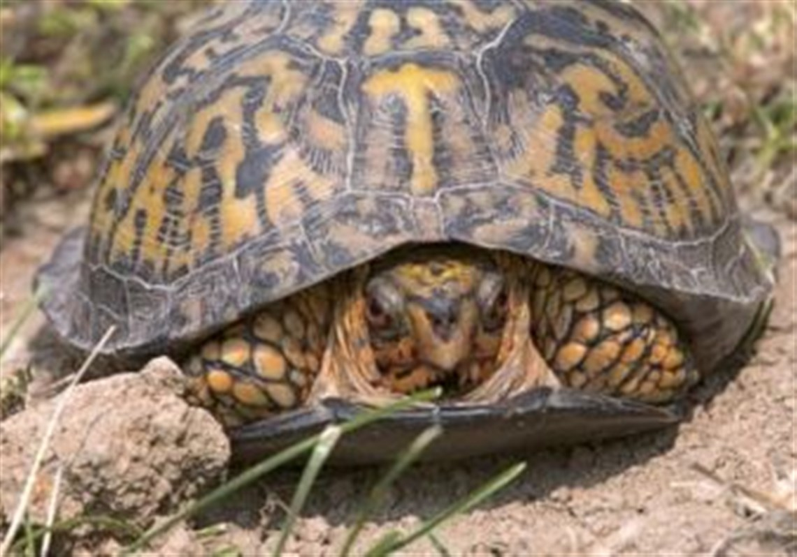 Female-box-turtles.jpg