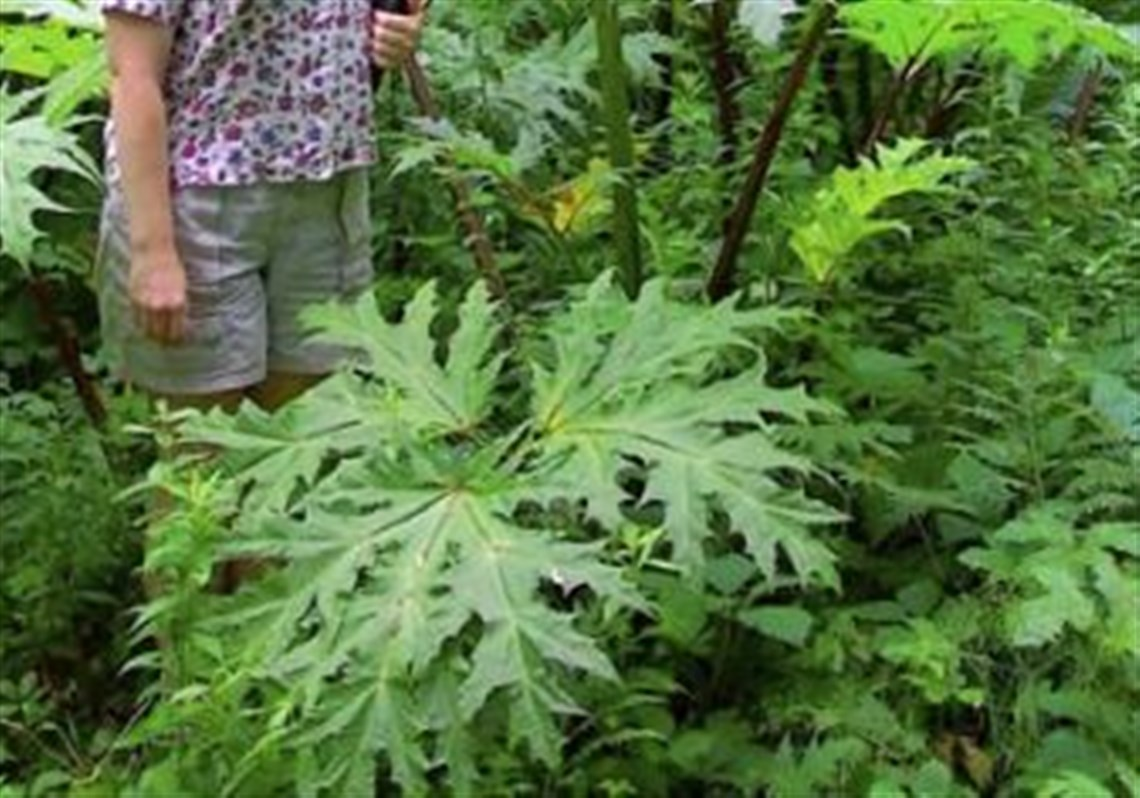 Former Maryland Department Of Agriculture Plant Pathologist Anne Sindermann Stands Next A Giant Hogweed Plant In