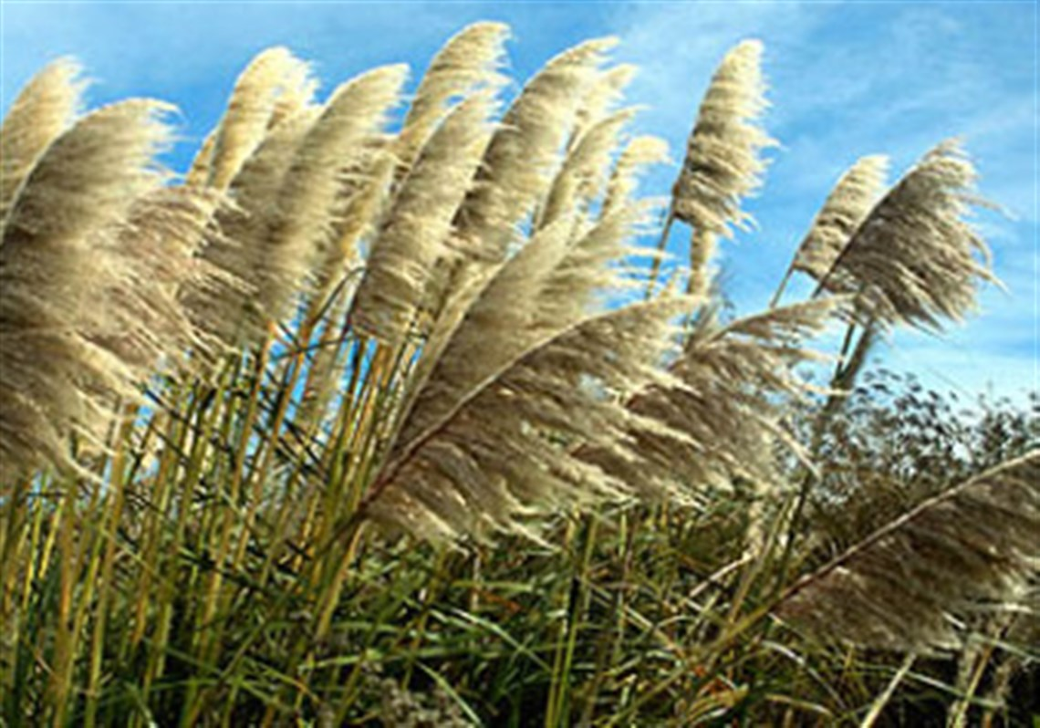 Qa with sandy feather ornamental grass doesnt like to let go most pampas grass is hardy only in zone 8 workwithnaturefo