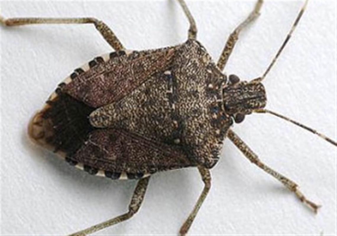 what do stink bugs eat - Vatoz.atozdevelopment.co