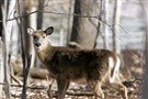 Trapping and euthanizing could cost $300 to $600 per deer taken, and surgical sterilization is estimated at $800 to $1,000 per animal.