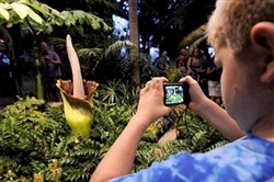 Theo Urban of O'Hara takes pictures of the corpse flower Romero at Phipps Conservatory in 2013. Romero last bloomed in August 2013 and drew thousands to Phipps to witness its odiferous bloom.