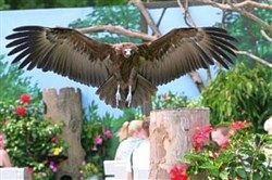 A hooded vulture flies above the audience at the National Aviary.