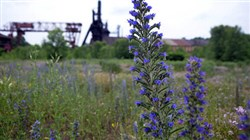 Wild flowers grow in a meadow near the Carrie Furnaces, a remainder of  U.S. Steel's Homestead Works.