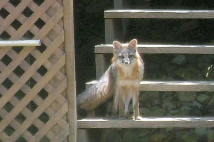 A gray fox A gray fox on the porch by a Scott landowner.