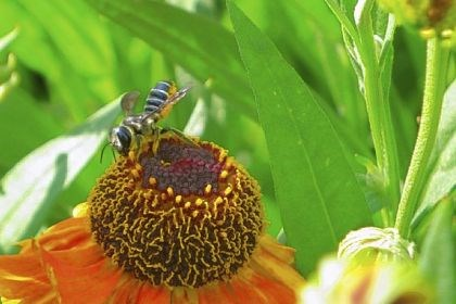 A leafcutter bee A leafcutter bee on a Helenium flower.