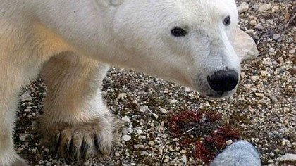 Ah . . . too close? Up close and personal with a polar bear in Canada.
