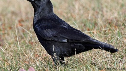 American Crow Pittsburgh bird counters reported 52 species last year, with American crows == at 2,392 == the most numerous.