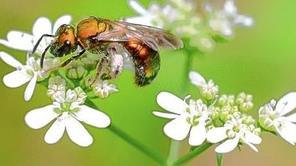 Beneficial bugs A bee covers itself with pollen from the herb cilantro.