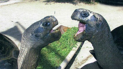 Bibi and Poldi Bibi and Poldi are giant Galapagos tortises who have lived together in Austria for more than a hundred and fifteen years. They recently have had a falling out and zookeepers are unable to explain the rift.