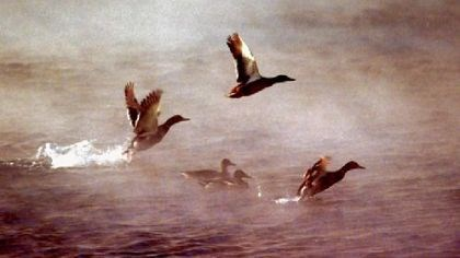 Ducks take flight