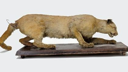 Eastern cougar This 2006 photo shows the taxidermy of the eastern cougar said to have been the last cougar killed in Pennsylvania in 1874 by Thomas Anson.