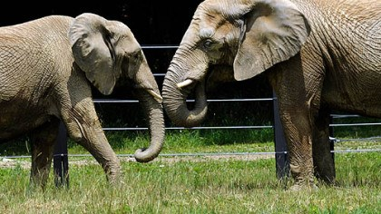 Elephants Elephants Bette, left, and Kallie -- formerly of the Philadelphia Zoo -- roam their enclosure yesterday at the Pittsburgh Zoo & PPG Aquarium's International Conservation Center in Somerset County.