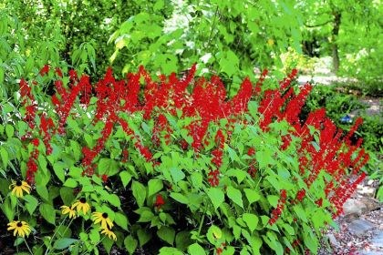 'Faye Chapel' salvia The deep red spikes of red blossoms are the perfect treat for hummingbirds and will prove to light up your garden too!