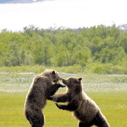 Grizzly bears Grizzly bears play-fight in Alaska.