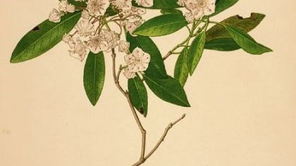 Kalmia latifolia Kalmia latifolia Linnaeus, mountain laurel, Ericaceae (heath family), flowering May-July, watercolor on paper by Richard Crist (1909-1985).