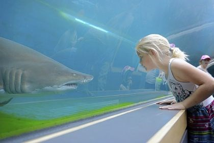 kid at zoo Emilly Thomas, 8, of Weirton, W. Va., gets a closer look at the sand tiger shark at Pittsburgh Zoo & PPG Aquarium. The zoo will offer free admission Nov. 10 as part of RADical Days.
