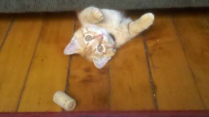 kitty The apricot kitty plays with his favorite toy, a wine cork.
