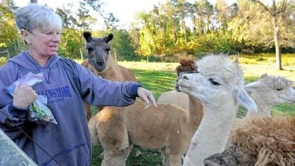 Local garden tours Nada Sarkin's alpacas crowd around as she shows her treat bag at her rural home in Penn Township, Butler County.