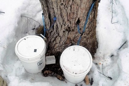 Maine maple trees This photo shows an illegally tapped maple tree in northern Maine on March 12. Forest rangers say the illegal tappers are damaging valuable maple trees before they are harvested for lumber.