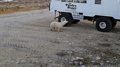 Near the buggy A polar bear taking a look at a tundra buggy.