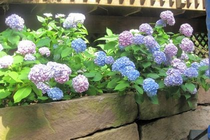'Nikko Blue' hydrangeas 'Nikko Blue' hydrangeas show the range of colors from pink through purple.