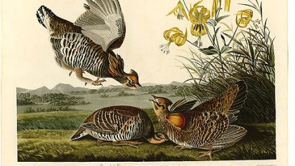 Pinnated grouse Pinnated grouse by John James Audubon.