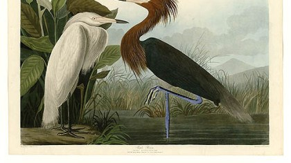 Purple heron Purple heron by Audubon.