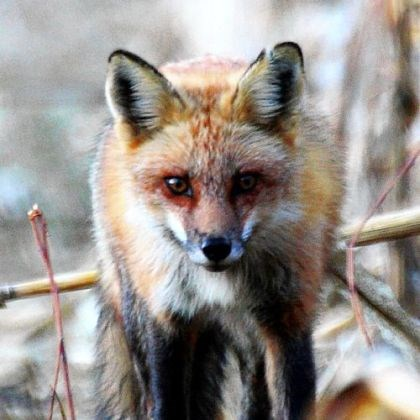 Red fox Red fox pelt prices have been up in recent years, but the number of trappers targeting foxes has remained about the same.