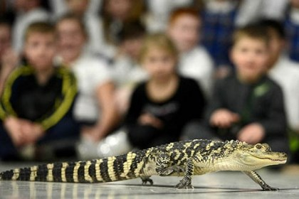 Reptiles 4 An American alligator walks slowly in front of the students.