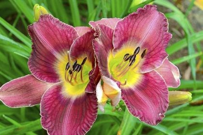 'Royal Ring' 'Royal Ring' daylily.