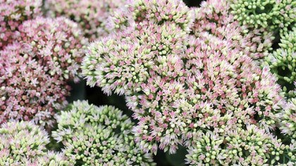 Sedums 'Autumn Joy' and other sedums are perfect for rain gardens.