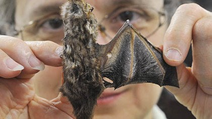 Seminole bat Suzanne B. McLaren, the collection manager in the Carnegie Museum of Natural History's section of mammals, extends the wing of an approximately 3-inch specimen of a Seminole bat, rare in Pennsylvania, which was reportedly killed in the vicinity of a wind turbine.