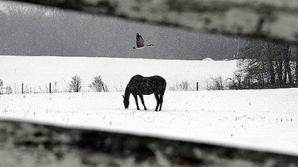 snowy donegal A goose flies over a horse as it trudges through a late April snowfall along School House Lane in Donegal this afternoon.