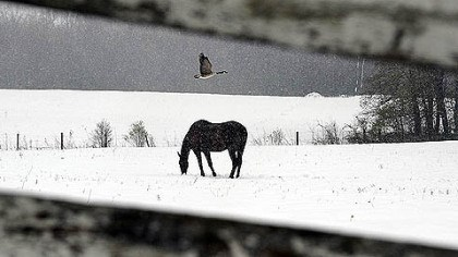 Snowy Donegal A goose flies over a horse as it trudges through a late April snowfall along School House Lane in Donegal.