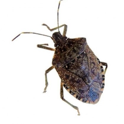 Stink bug Each female stink bug lays approximately 200 eggs at least once a year.