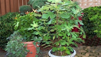 Susan Silverman's fig tree Susan Silverman of Murrysville got this fig tree as a small cutting three years ago. Because it is kept in the garage in winter, it has fruited every year. This photo was taken last August.