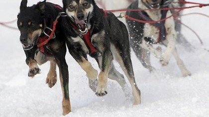 The fur is flying The dogs of Will Kornmuller round the turn onto Cordova Street from Fourth Avenue in Anchorage, Alaska, on Friday at the start of the Anchorage Fur Rendezvous World Championship sled dog race.