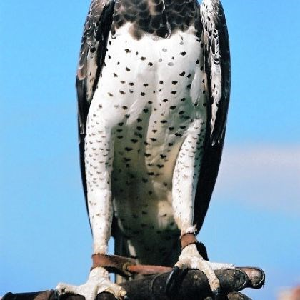 The martial eagle The martial eagle can weigh up to 14 pounds and boasts a six- to eight-foot wingspan.