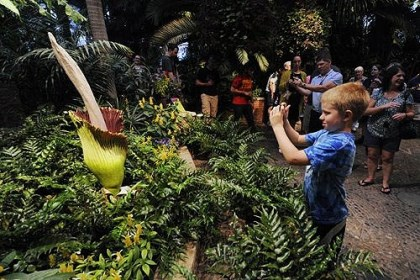 Theo Urban Theo Urban, 8, of O'Hara, came with his parents to photograph the corpse flower in bloom at Phipps Conservatory. The flower will bloom for about 48 hours and smells badly.