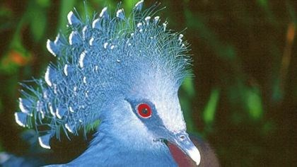 Victoria Crowned Pigeon The most notable feature of the Victoria Crowned Pigeon is its crown of lacy feathers, each tipped in white.