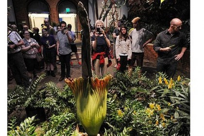 Visitors line up Visitors line up to see the corpse flower blooming at Phipps Conservatory.